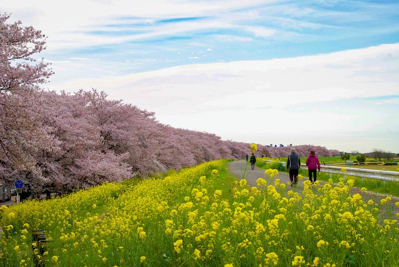 熊谷桜堤の桜並木と菜の花