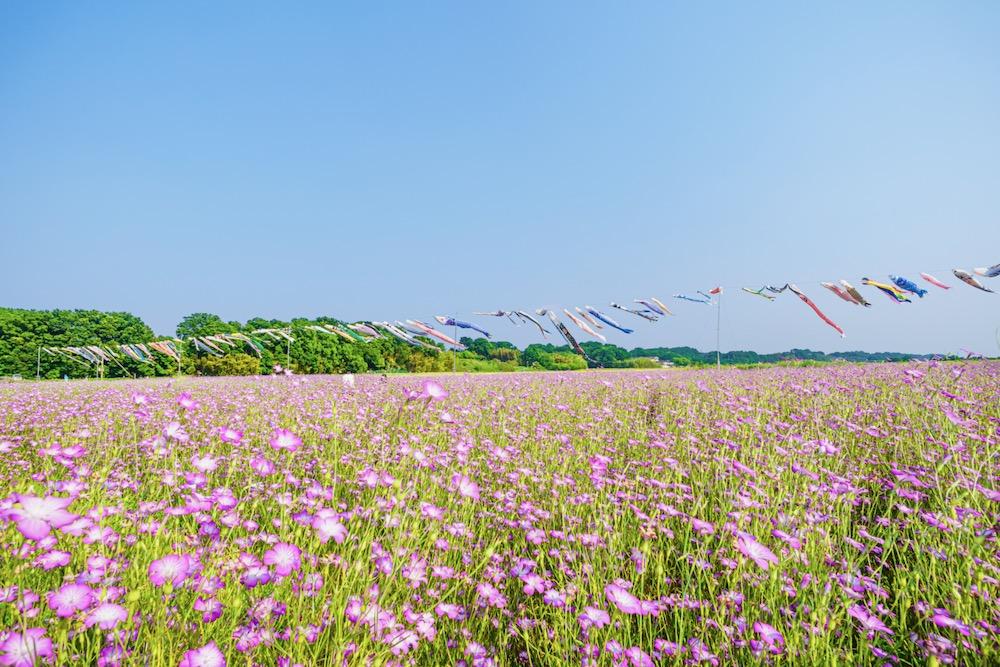 鴻巣にある日本一広いポピー畑とこいのぼり